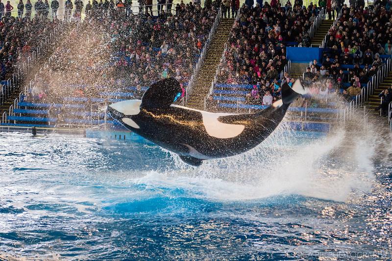 Shamu Killer Whale Show Sea World San Antonio