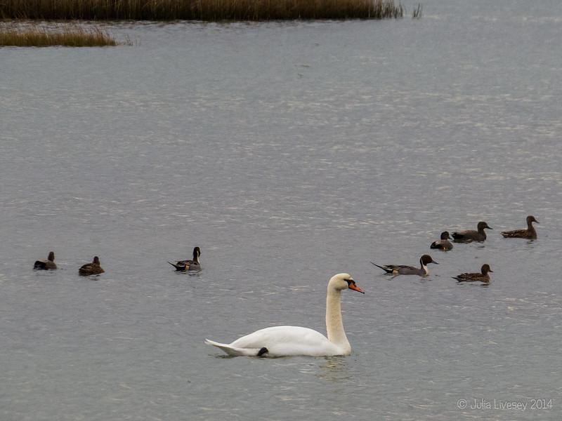 Pintails, Gadwalls, Mallards and a Swan