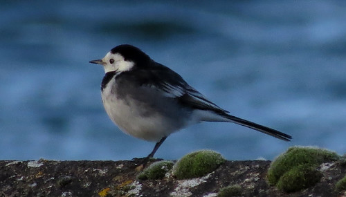 Pied Wagtail Motacilla alba yarrellii Tophill Low NR, East Yorkshire January 2015