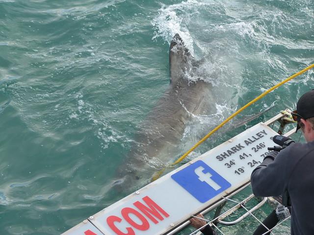 Tiburón blanco acercándose a la jaula