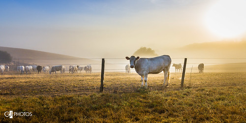orange yellow fog sunrise fence countryside cows farm country livestock