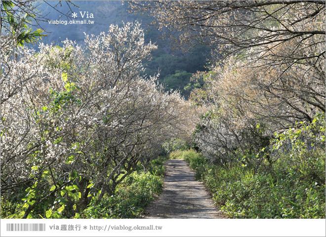 【南投梅花秘境】仁愛鄉「西伯梅園」~和互助國小梅園來個賞梅一日遊5