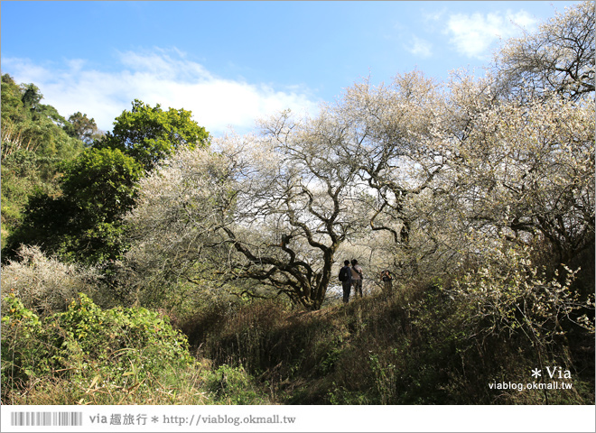 【柳家梅園】大人氣的賞梅景點!牛稠坑「柳家梅園」新私房賞梅步道12