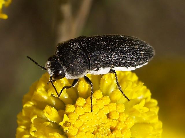 Acmaeoderella flavofasciata