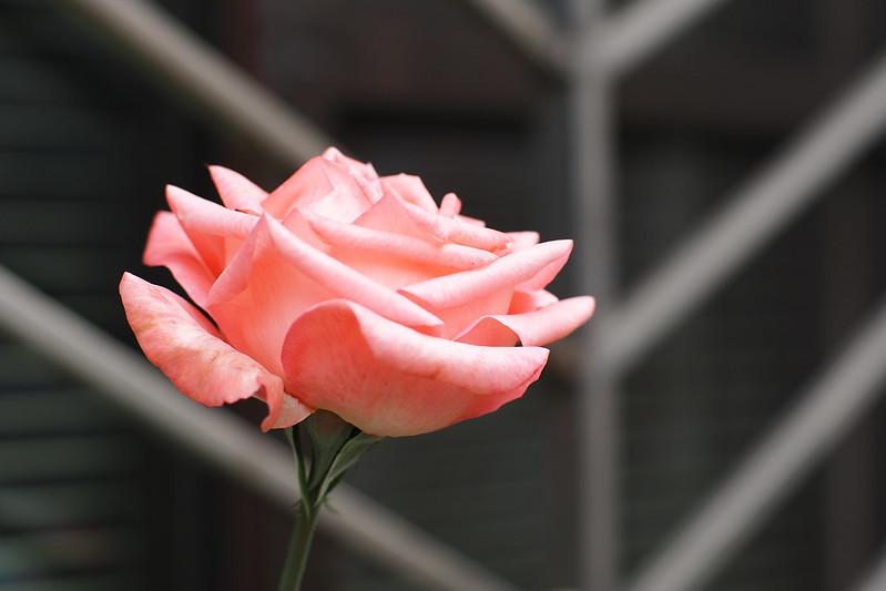 玫瑰|NOKTON 42.5mm