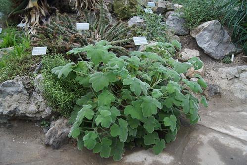 P. tomentosum