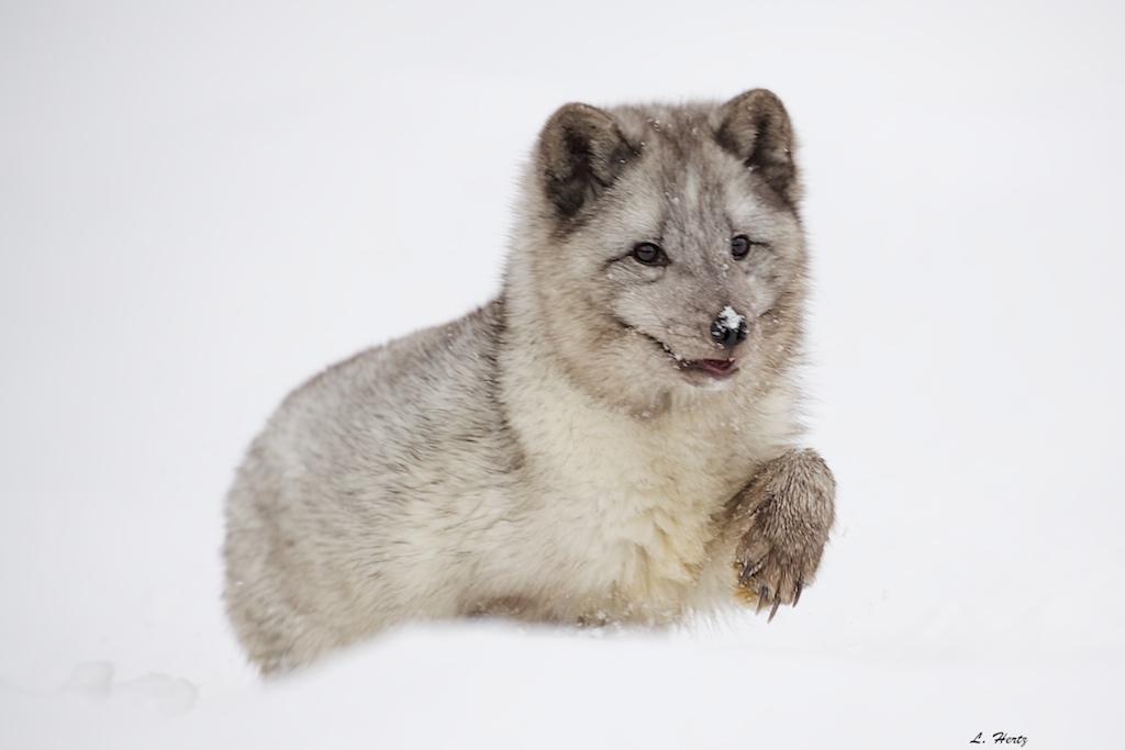 Arctic Fox 133