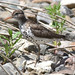 Small photo of Spotted Sandpiper Actitis macularius