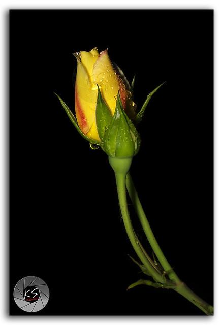 Rain washed pretty unbloomed Rose flower of Janjehli, Himalayas!