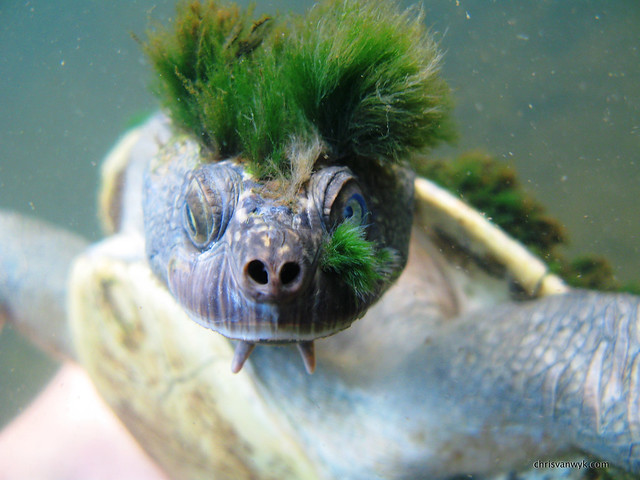 Mary River Turtle 4