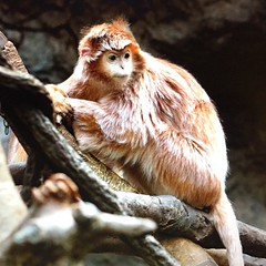 Doesn't this monkey look like the Mike Myers version of Cat in the Hat? @bronxzoo #nyc #bronx #zoo #monkey