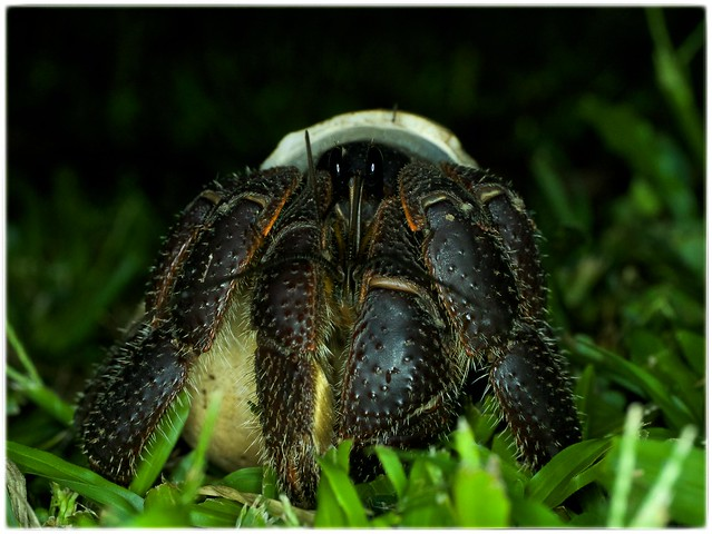 Hermit crab Fiji