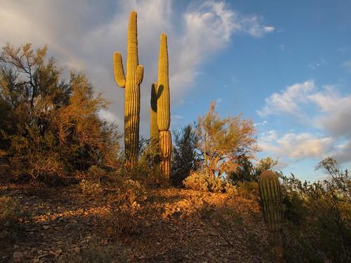 sunset arizona cactus sky southwest nature beauty skyline clouds landscape outdoors evening solitude glow desert sundown az adventure saguaro exploration discovery sonorandesert saguarocactus maricopacounty carnegieagigantea wildplaces desertscape zoniedude1 hieroglyphicmountains earthnaturelife canonpowershotg12 skywardsaguaros
