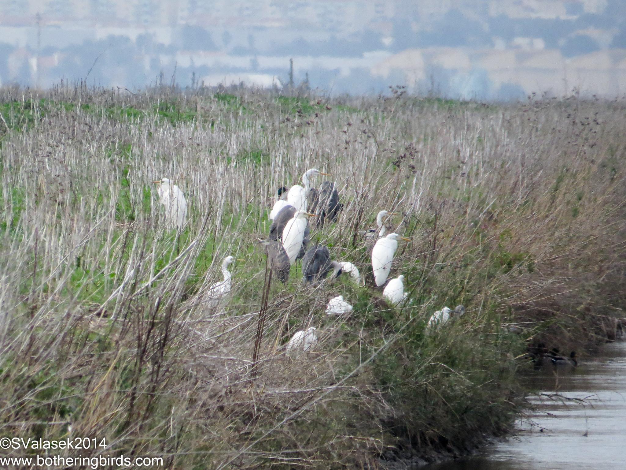 Great Egrets, Grey Heron, Cattle Egrets