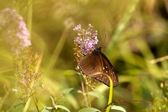 Butterfly in Longsheng