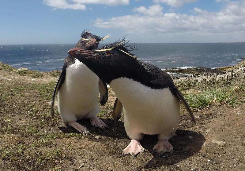 Rockhopper penguins in the Falklands