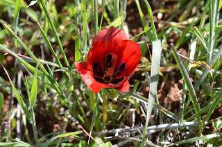 Romulea monadelpha  ロムレア モナデルファ