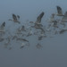 Snow Geese (Chen caerulescens) in the Fog by Atascaderocoachsam