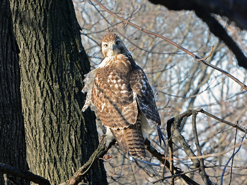 Young Riverside Red-Tail
