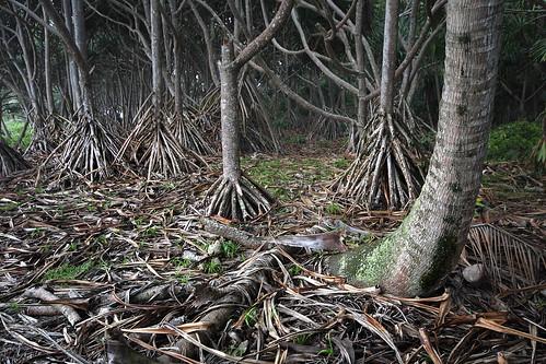 trees usa forest canon hawaii maui trail roadtohana t3i waianapanapastatepark 600d gsamie guillaumesamie