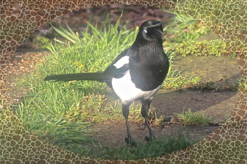 Magpie IMG_1897