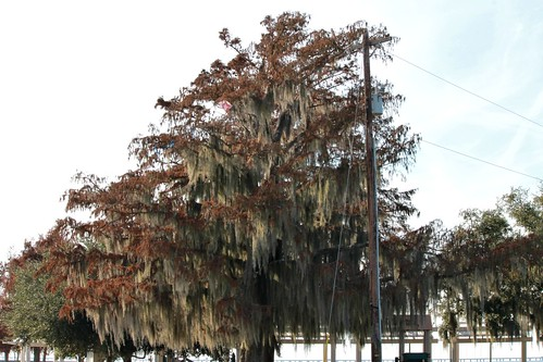 Tree covered in Spanish moss - December 11, 2014