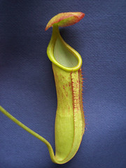 N. toyoshimae