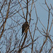 agawa2yukon has added a photo to the pool:ebird.org/ebird/view/checklist?subID=S20969091Taken in Sault Ste. Marie, Algoma District, Ontario, Canada at some distance - heavy cropping.  Merlin in this area at this time of year are considered rare by ebird.org.
