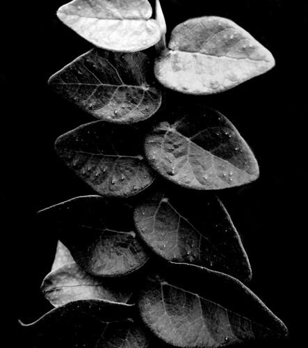 """""""Ivy"""""""
