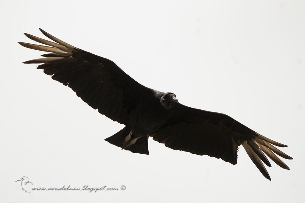 Jote cabeza negra (Black Vulture) Coragyps atratusmall
