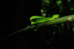 Vogel's Pit Viper, Viridovipera vogeli in Khao Yai national park