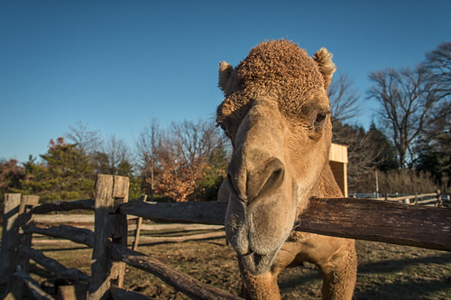 Aladdin, George Washington's Christmas Camel by Geoff Livingston