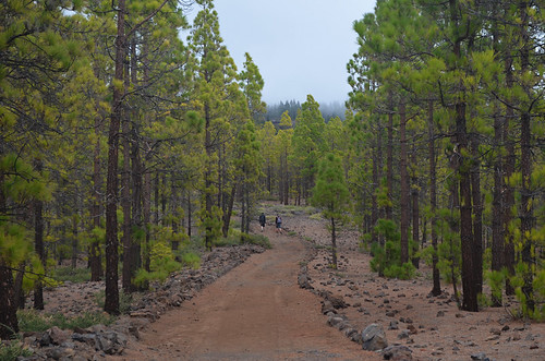 Bruma in the pines, Vilaflor, Tenerife