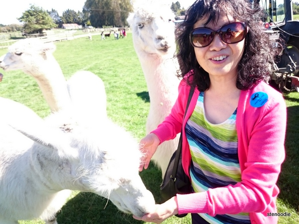 feeding llamas in New Zealand