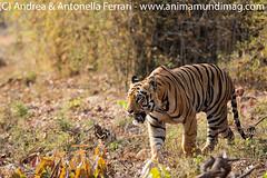 Indian tiger Panthera tigris