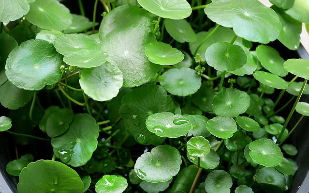 ウォーターマッシュルーム 花 ウチワゼニクサ ビオトープ 可愛い水草 水生植物
