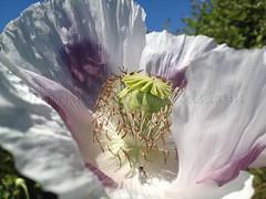 Papaver-Somniferum-Opium-Poppies-Seeds-via-OrganicalBotanicals_Com-130