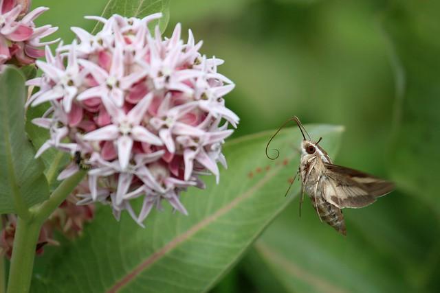 Esfinge colibrí cerca de una flor para extraer su néctar.