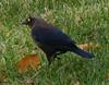 Rusty Blackbird, Taylor Park, 11/5/2014