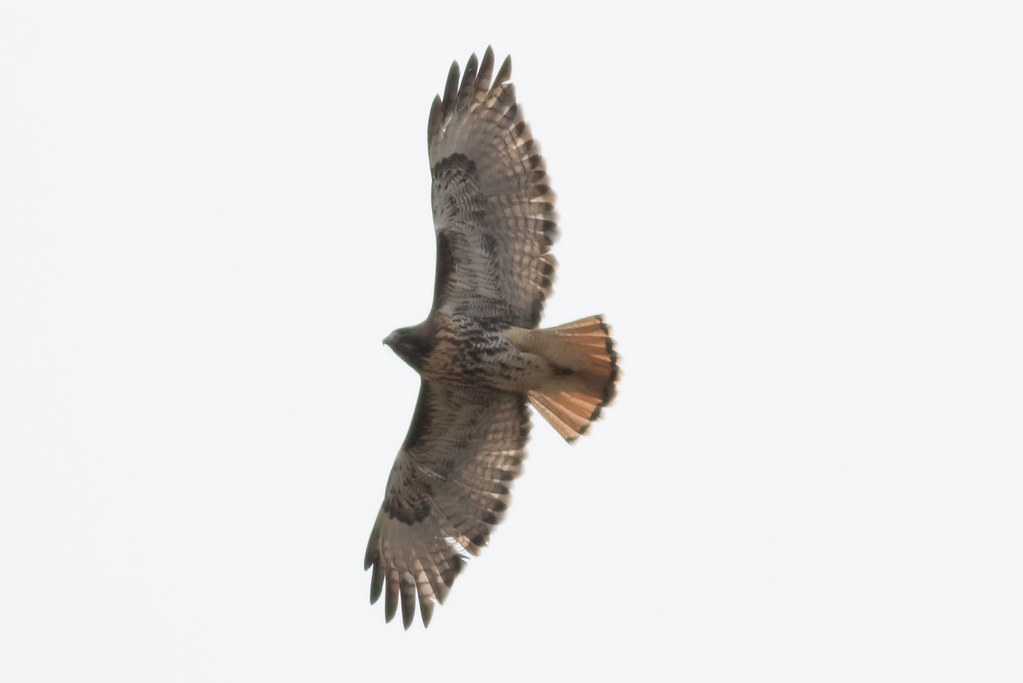 Red-tailed Hawk (Northern)
