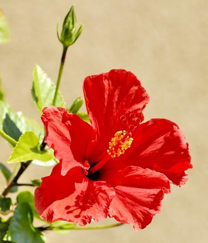 red arizona usa nikon hybiscus buckeye nikond200 wonderfulworldofflowers hibiscuswonder nikonafnikkor180mmf28difedlens