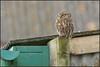 Little Owl (image 1 of 2)
