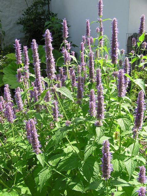 Tartu BG Herb Garden, Agastache rugosa