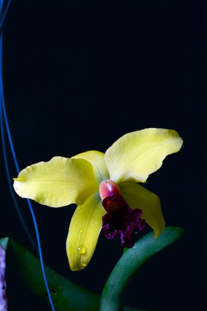 Cattleya hybride 15880272506_f4b85bdf26_z