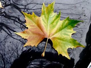 My autumn leave on a black car