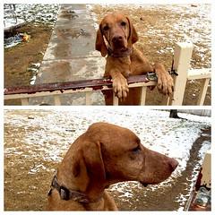 chesapeake bay retriever(0.0), dog breed(1.0), animal(1.0), dog(1.0), redbone coonhound(1.0), pet(1.0), mammal(1.0), coonhound(1.0), vizsla(1.0),