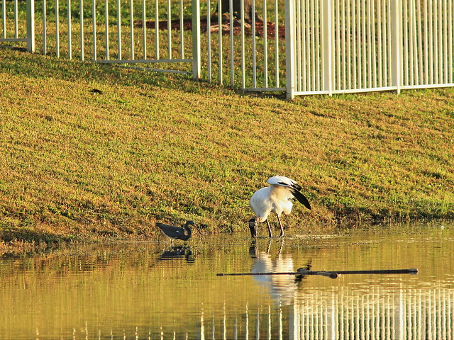 Tricolored Heron and Wood Stork 20141229