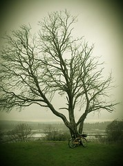 The dead madrona on Rivendell Ridge on a grey December day.