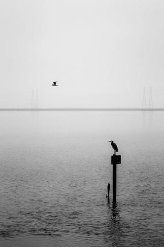 morning blackandwhite bird water silhouette fog landscape flying seagull wetlands paloalto mountainview pylons egret baylands sanranciscobay