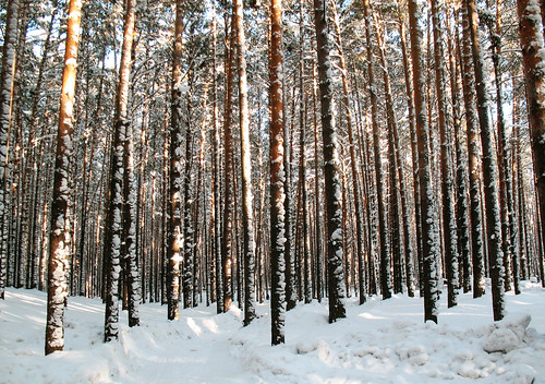 tomsk forest pine snow winter siberia scotspine serenity tranquility canon a630 landscape outdoor amateur brumal hibernal wintry winterish chill icy cold frozen 1000v40f 500v20f salient floral plant flora
